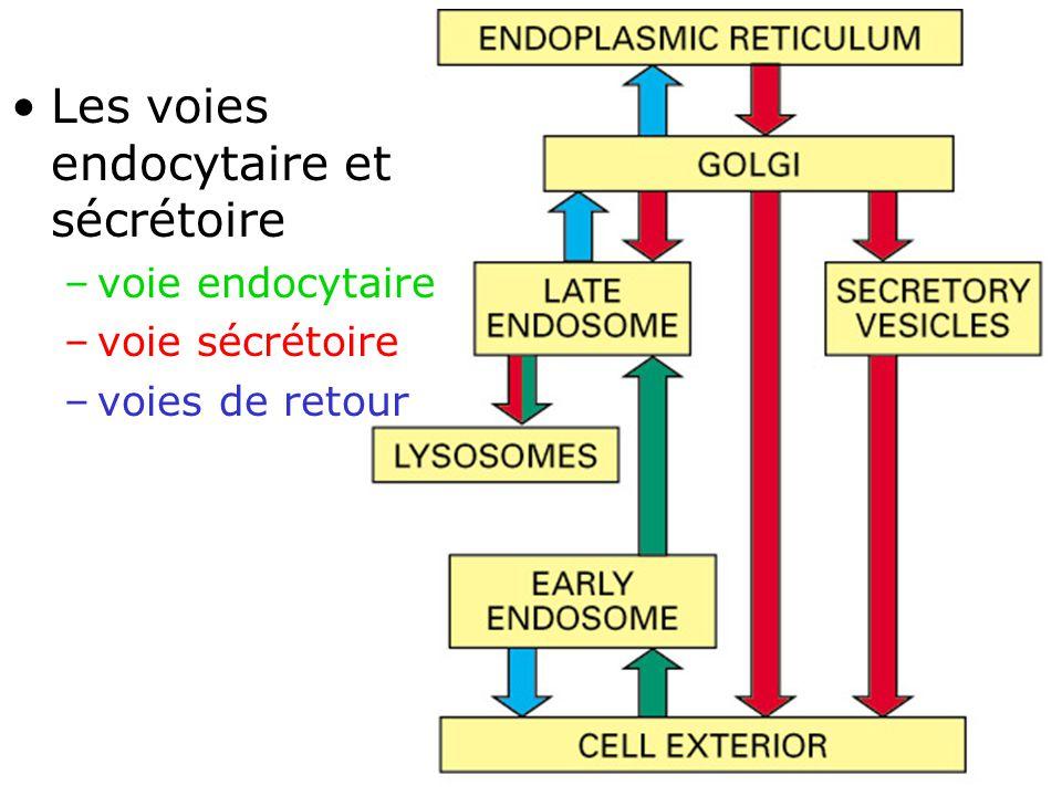 Fig 13-1 Les voies endocytaire et sécrétoire voie endocytaire