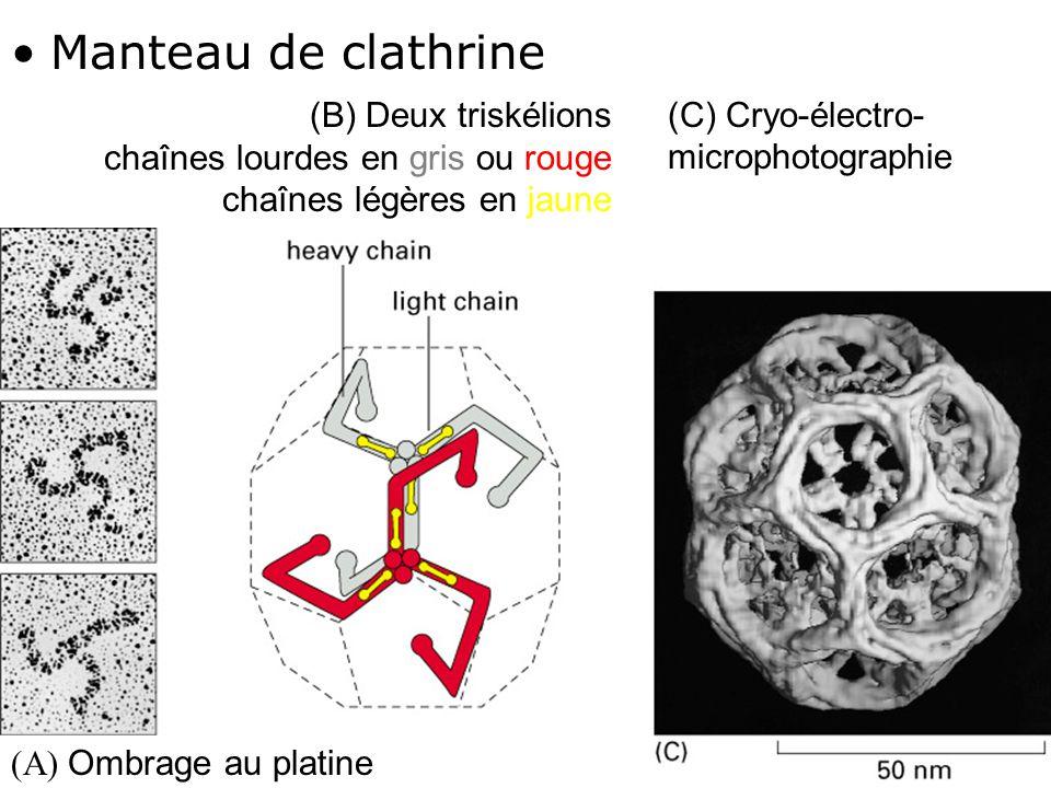 Fig 13-7 Manteau de clathrine (C) Cryo-électro-microphotographie