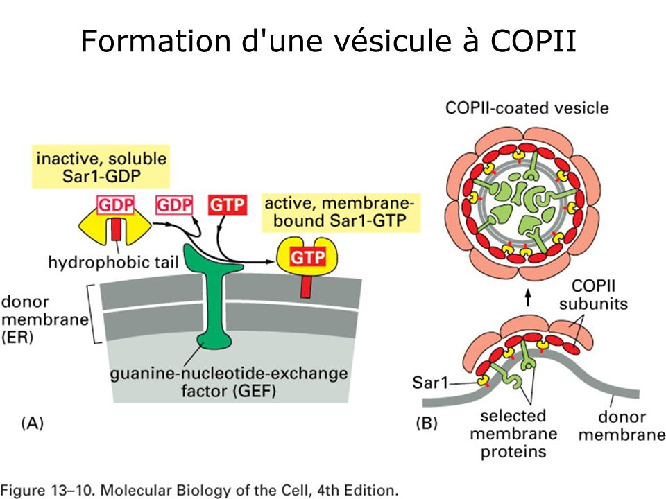 Fig 13-10 Formation d une vésicule à COPII Seule diapo à retenir
