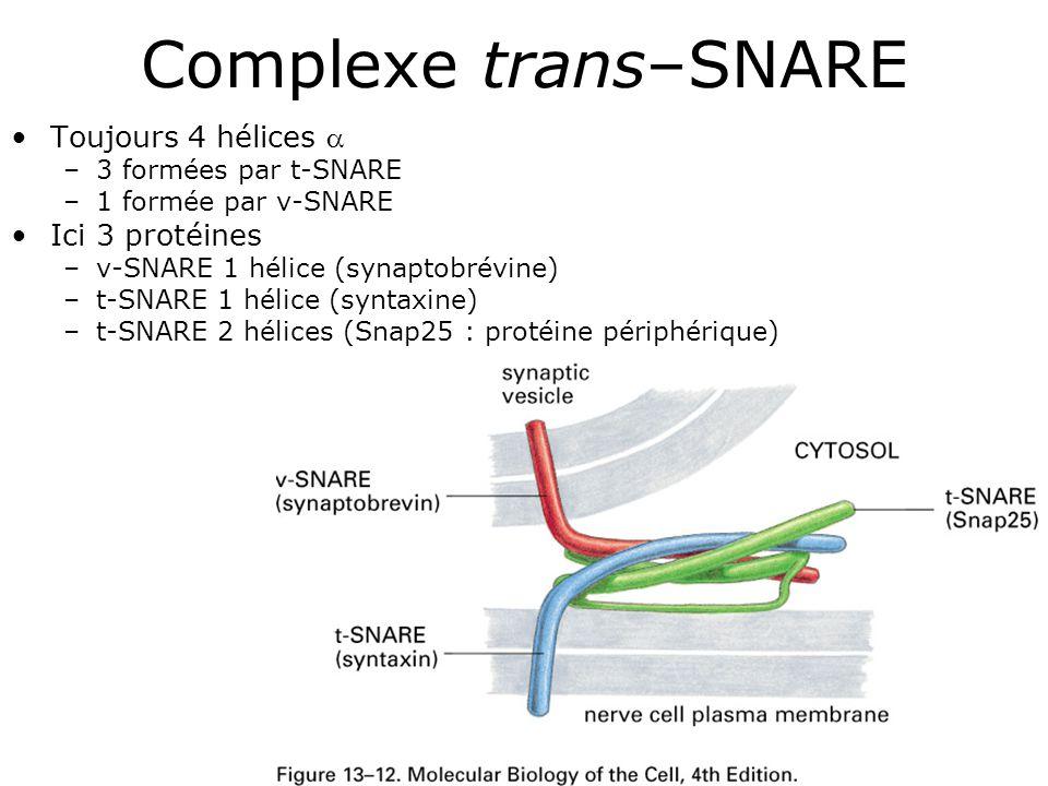 Complexe trans–SNARE Toujours 4 hélices  Ici 3 protéines
