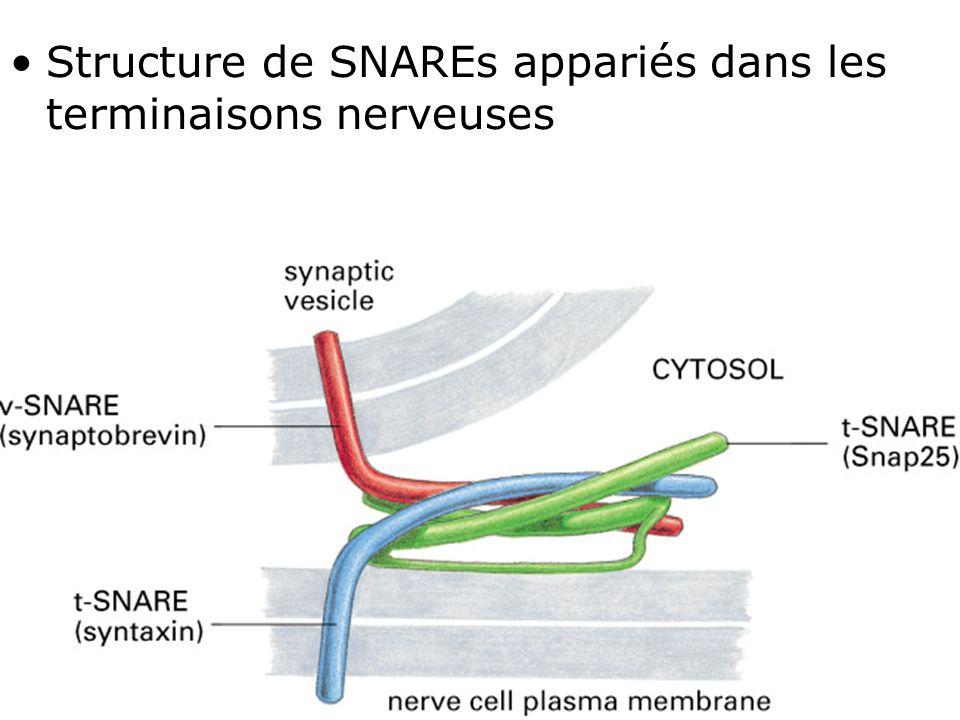 Fig 13-12 Structure de SNAREs appariés dans les terminaisons nerveuses