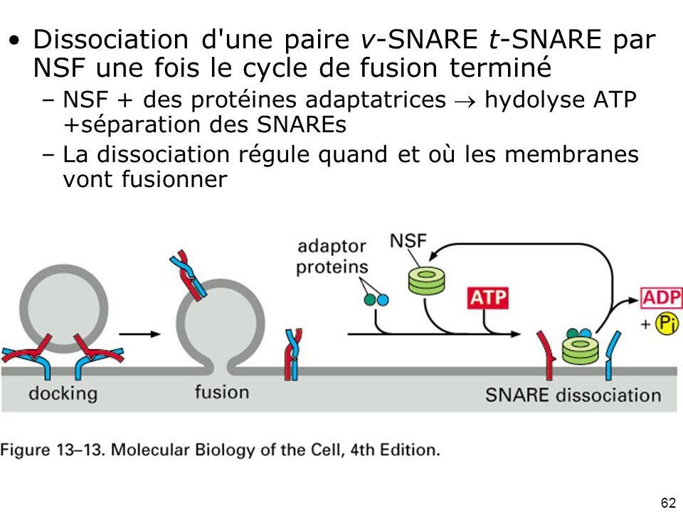 Lundi 1 octobre 2007 Dissociation d une paire v-SNARE t-SNARE par NSF une fois le cycle de fusion terminé.