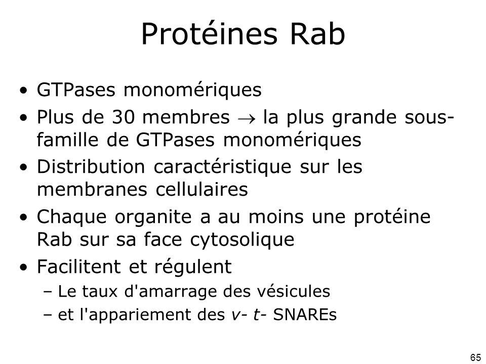 Protéines Rab GTPases monomériques