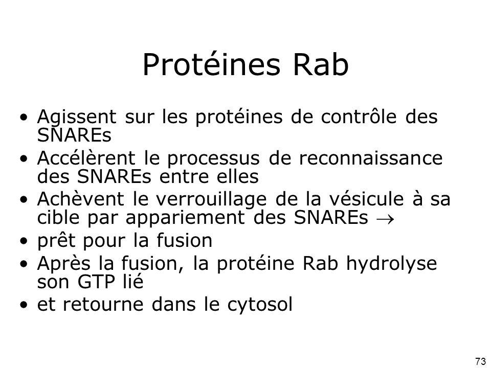 Protéines Rab Agissent sur les protéines de contrôle des SNAREs
