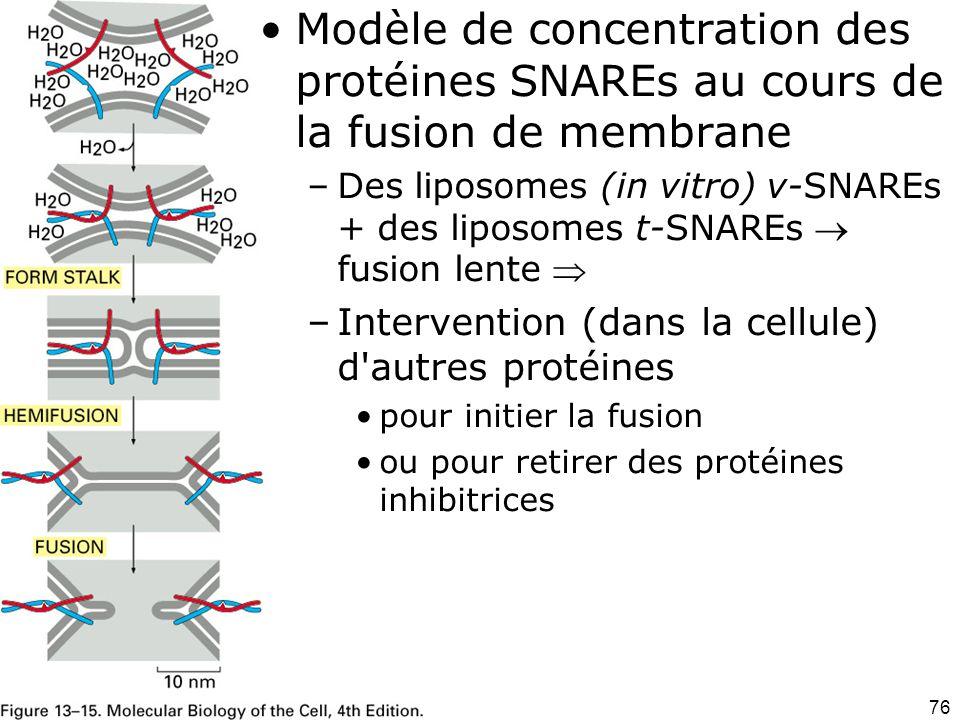 Modèle de concentration des protéines SNAREs au cours de la fusion de membrane
