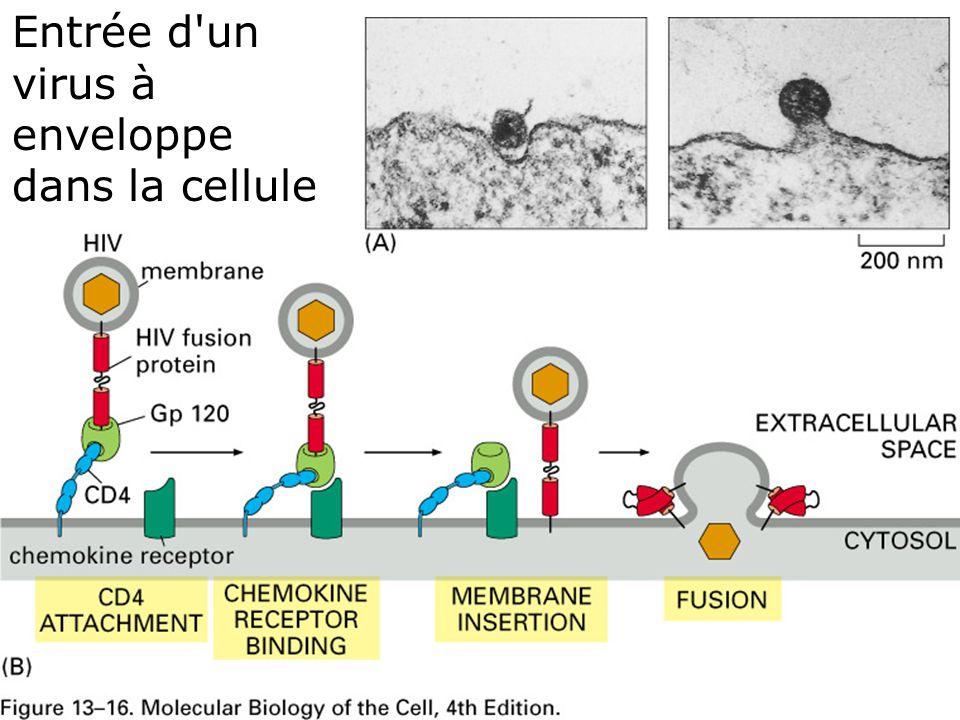 Fig 13-16 Entrée d un virus à enveloppe dans la cellule #10 p724