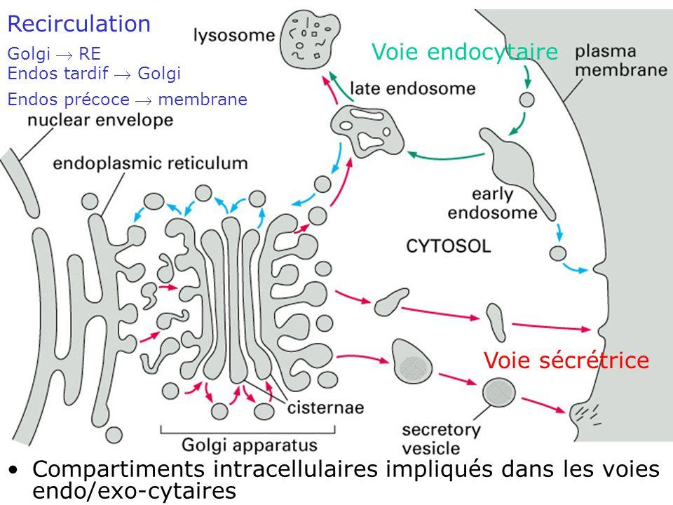 Fig 13-3 Recirculation Voie endocytaire Voie sécrétrice