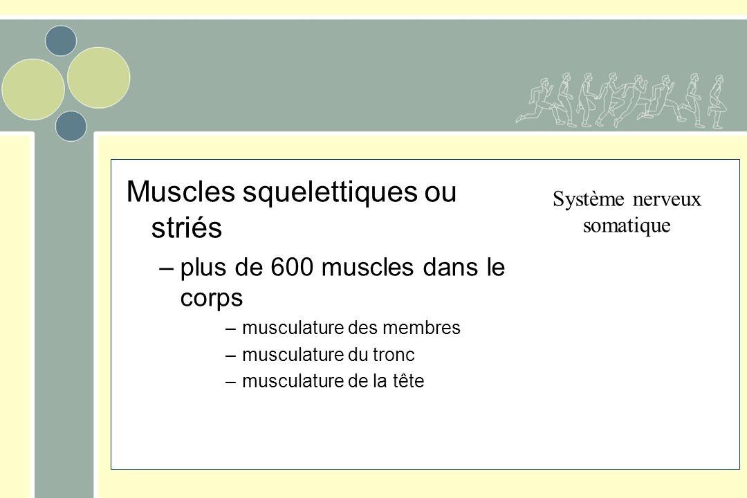 Muscles squelettiques ou striés