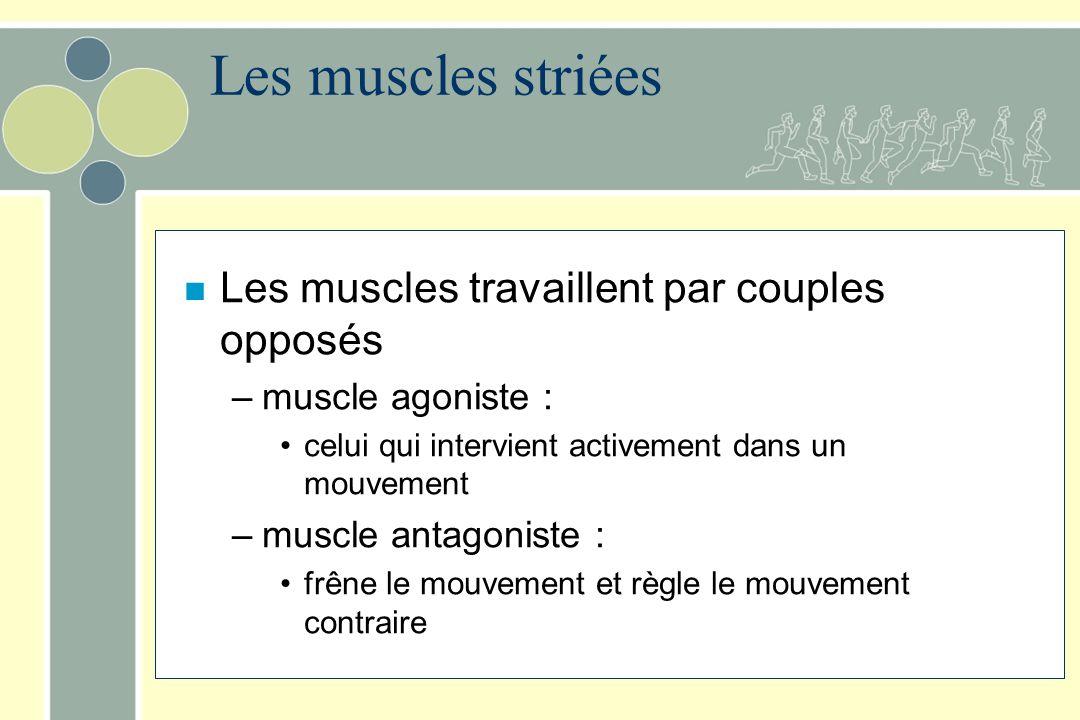 Les muscles striées Les muscles travaillent par couples opposés