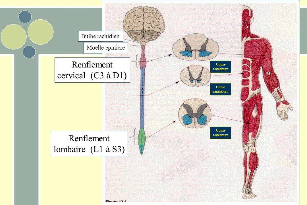 Renflement cervical (C3 à D1) Renflement lombaire (L1 à S3)