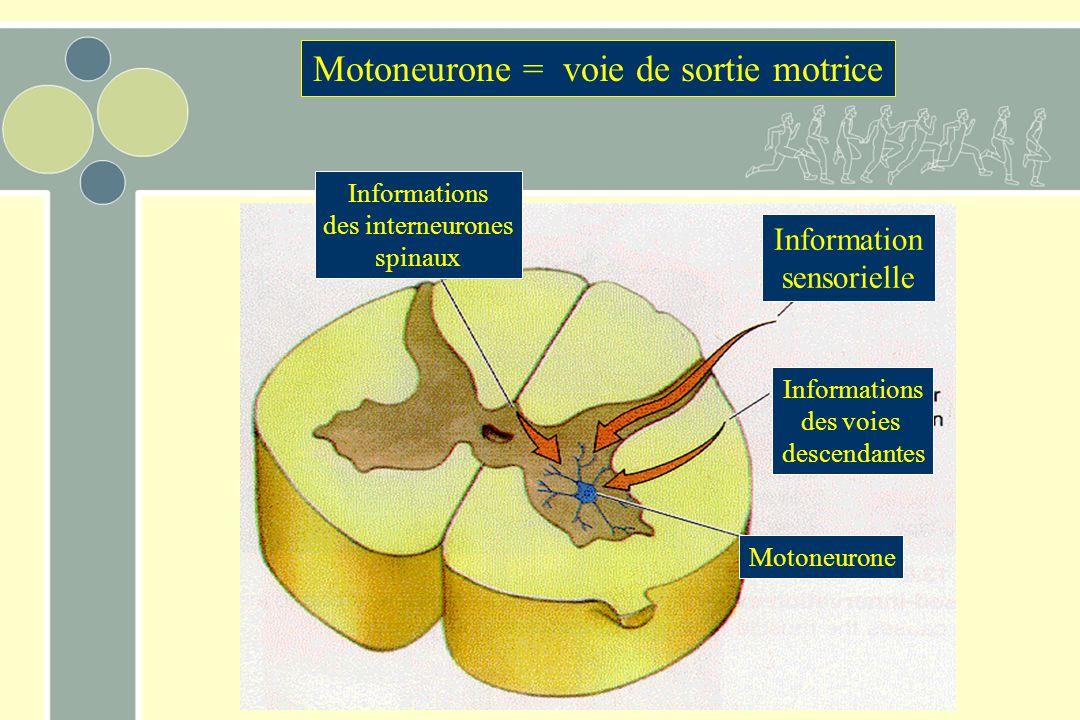Motoneurone = voie de sortie motrice