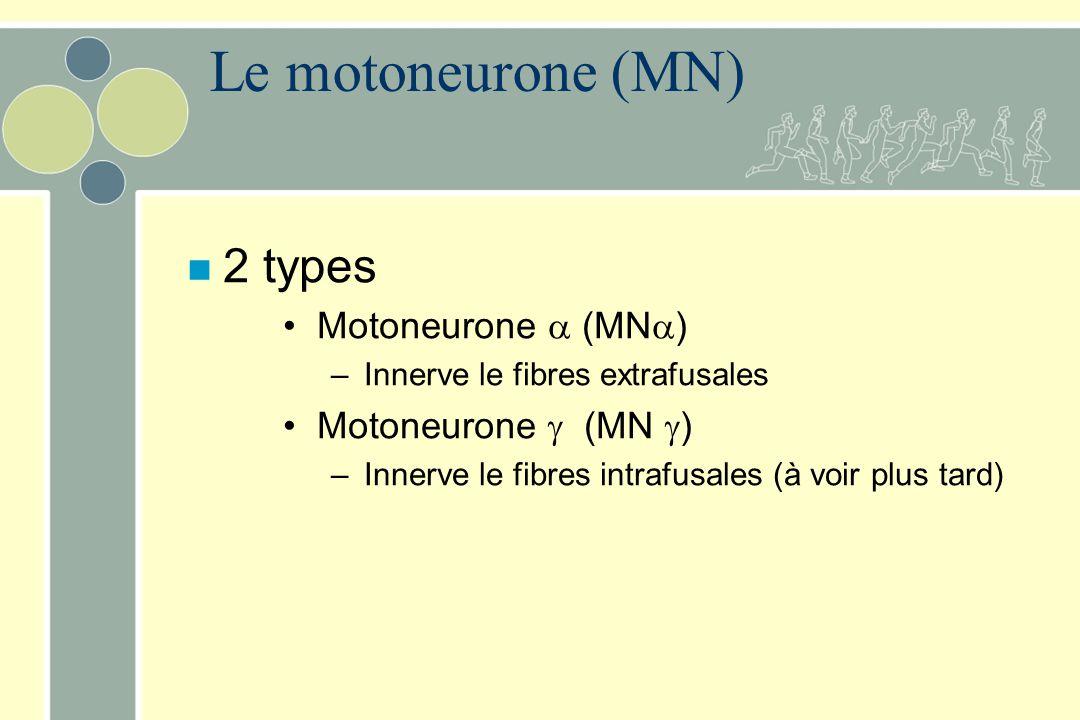 Le motoneurone (MN) 2 types Motoneurone  (MN) Motoneurone  (MN )