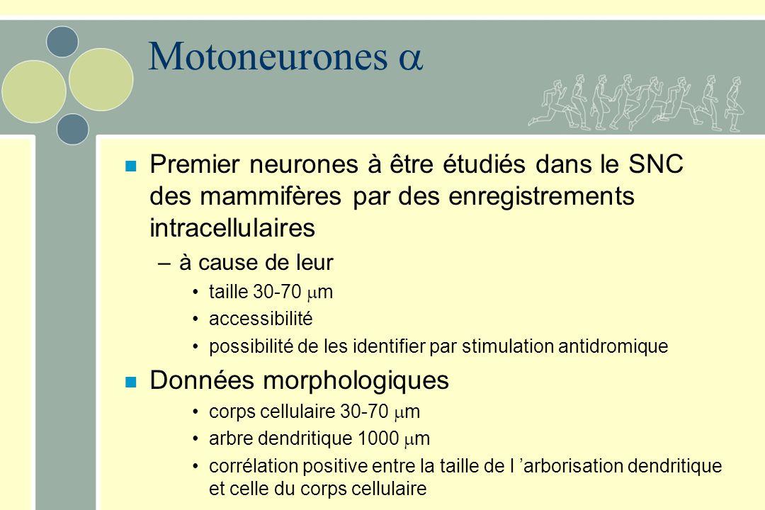 Motoneurones  Premier neurones à être étudiés dans le SNC des mammifères par des enregistrements intracellulaires.