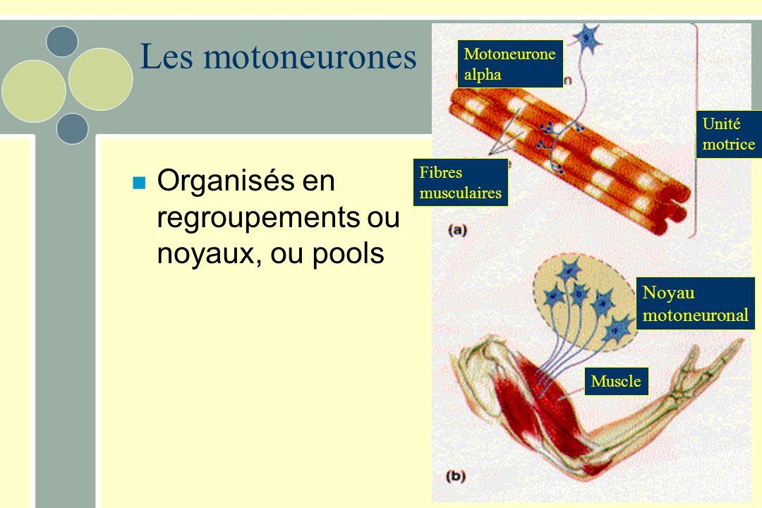 Les motoneurones Organisés en regroupements ou noyaux, ou pools Noyau