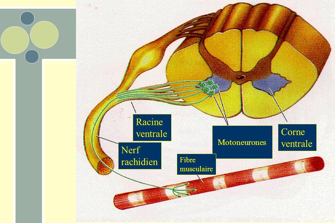 Racine ventrale Corne ventrale Nerf rachidien Motoneurones Fibre