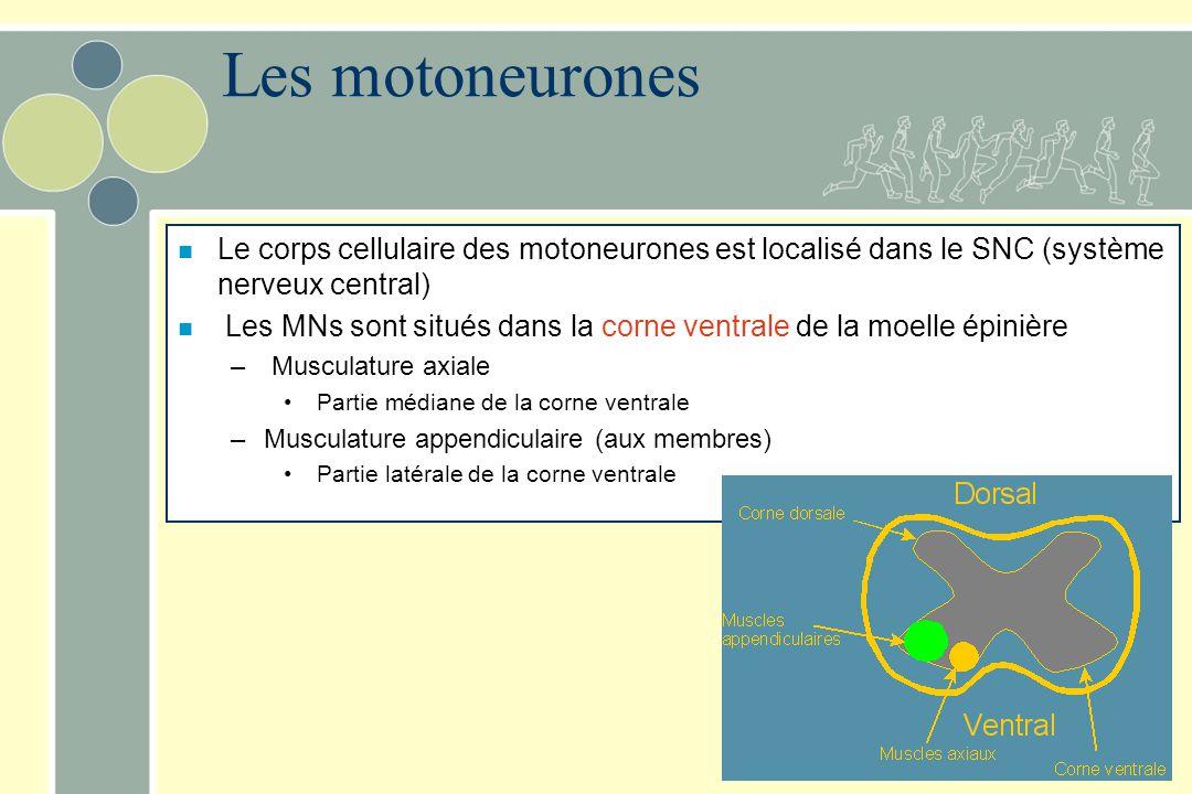 Les motoneurones Le corps cellulaire des motoneurones est localisé dans le SNC (système nerveux central)