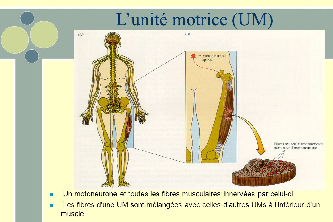 L'unité motrice (UM) Un motoneurone et toutes les fibres musculaires innervées par celui-ci.