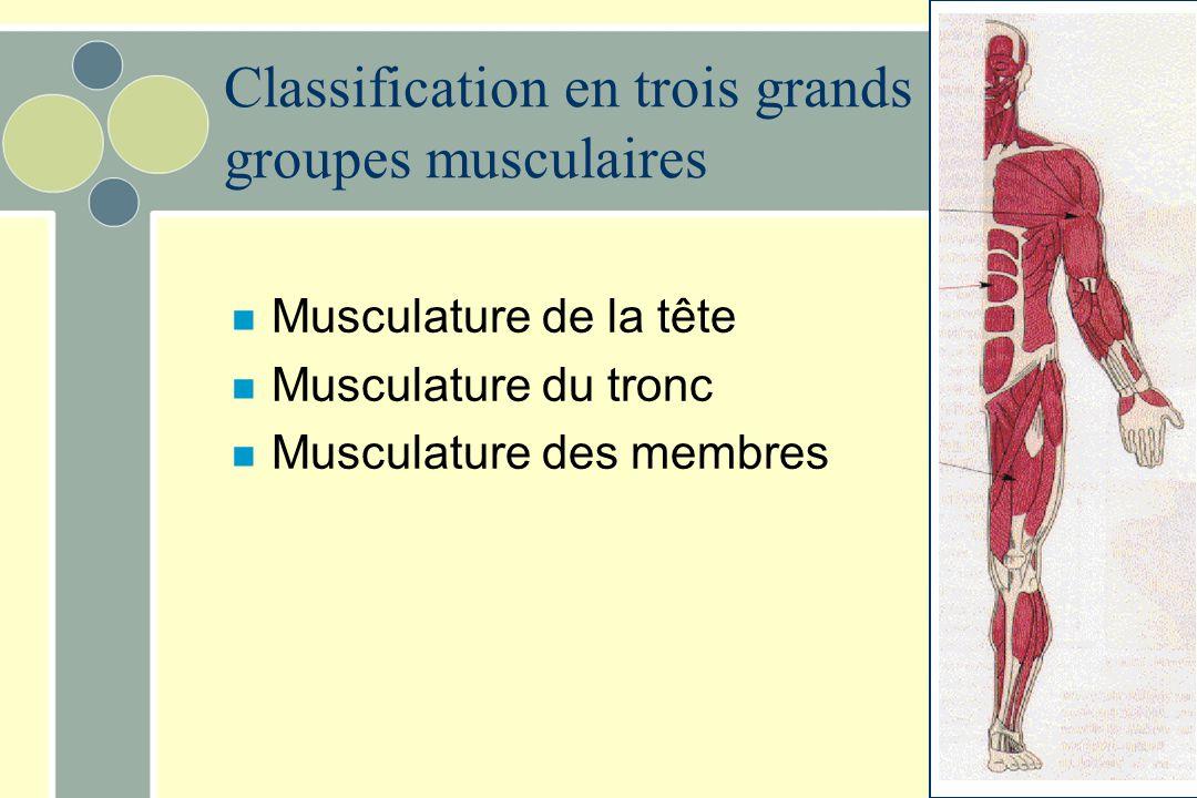 Classification en trois grands groupes musculaires