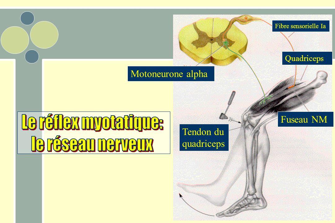 Le réflex myotatique: le réseau nerveux Motoneurone alpha Fuseau NM