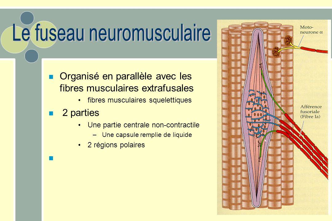 Le fuseau neuromusculaire