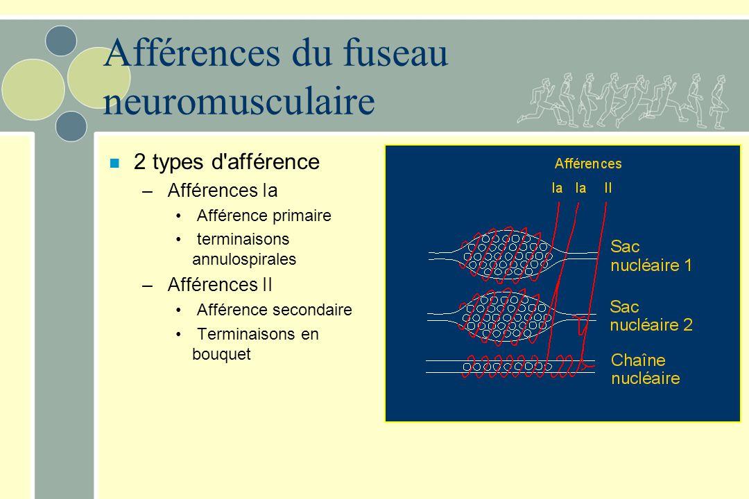 Afférences du fuseau neuromusculaire