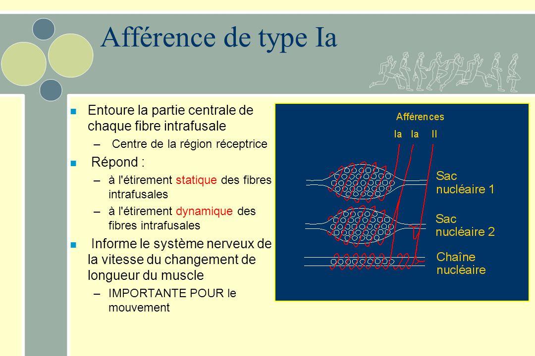 Afférence de type Ia Entoure la partie centrale de chaque fibre intrafusale. Centre de la région réceptrice.