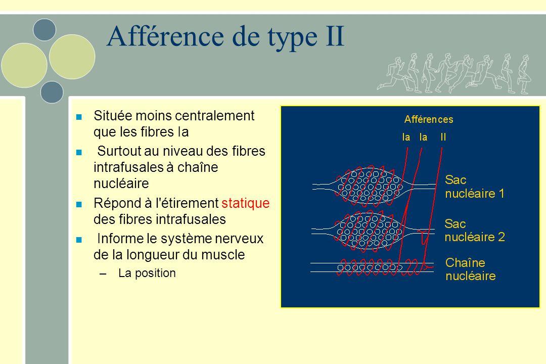 Afférence de type II Située moins centralement que les fibres Ia