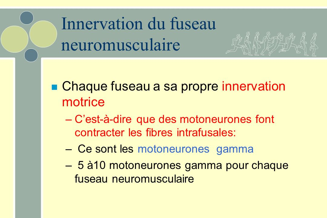 Innervation du fuseau neuromusculaire