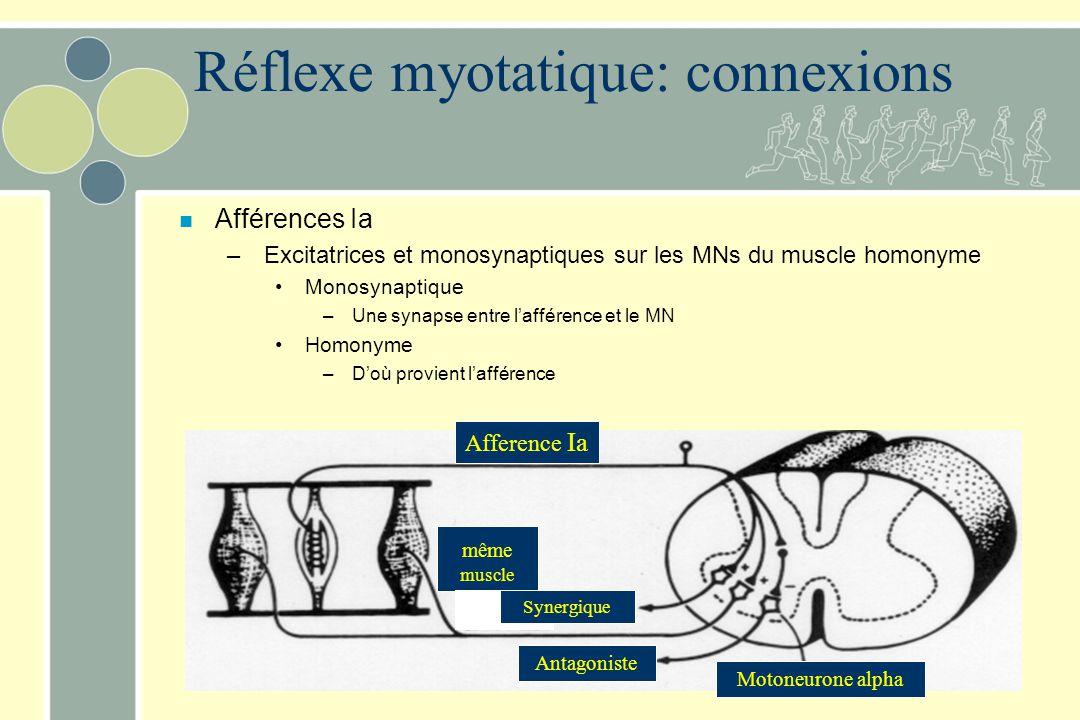 Réflexe myotatique: connexions