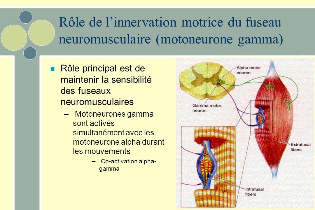 Rôle de l'innervation motrice du fuseau neuromusculaire (motoneurone gamma)