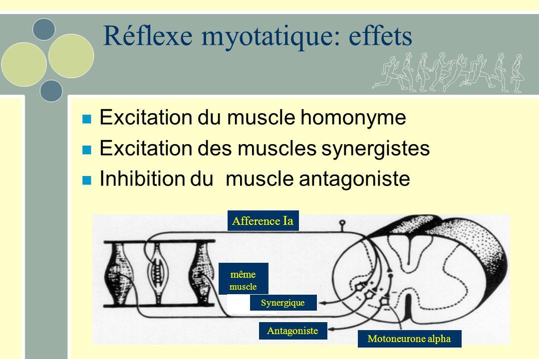 Réflexe myotatique: effets