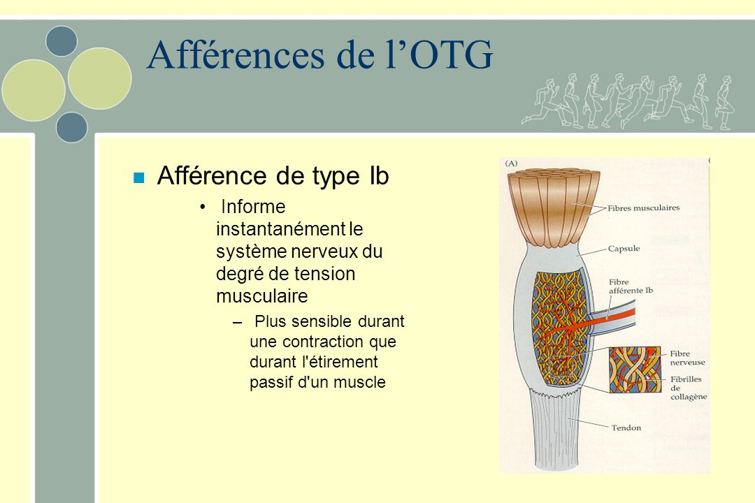 Afférences de l'OTG Afférence de type Ib