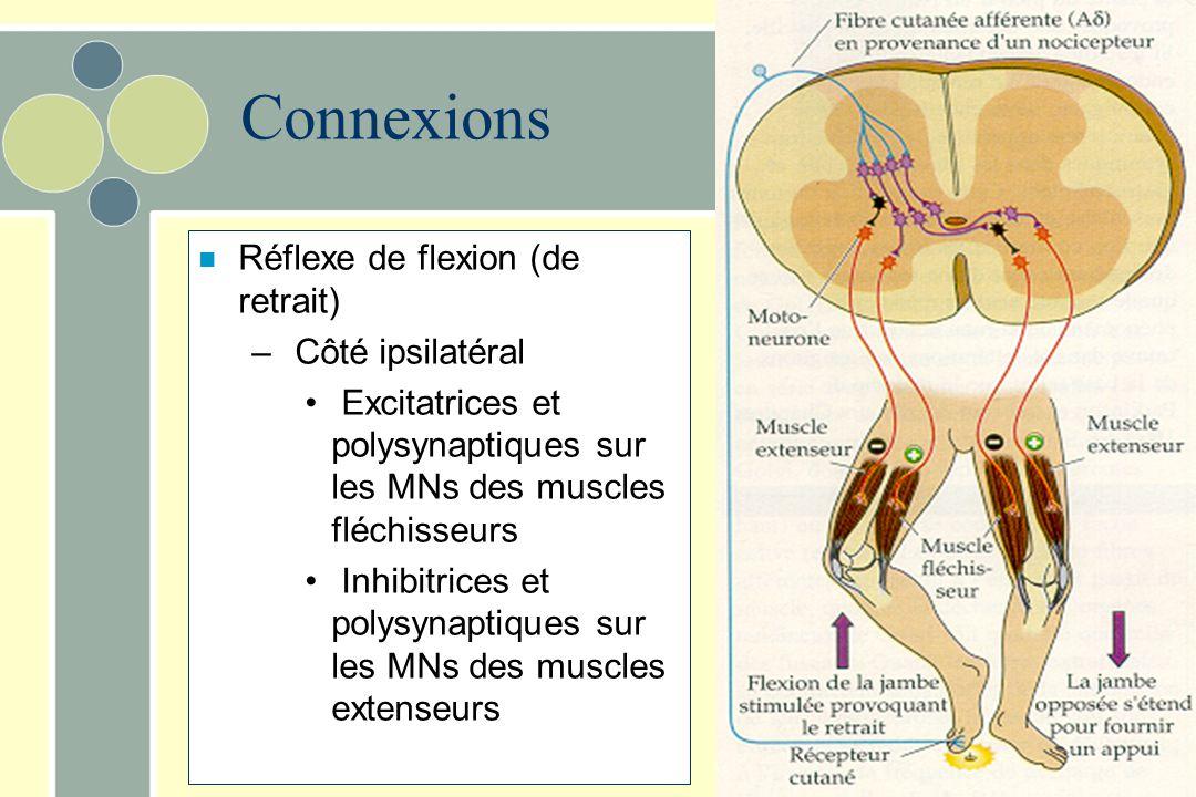 Connexions Réflexe de flexion (de retrait) Côté ipsilatéral