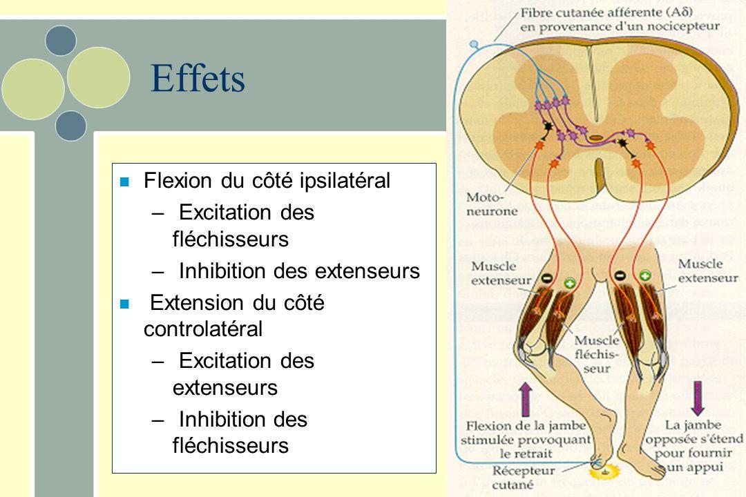 Effets Flexion du côté ipsilatéral Excitation des fléchisseurs