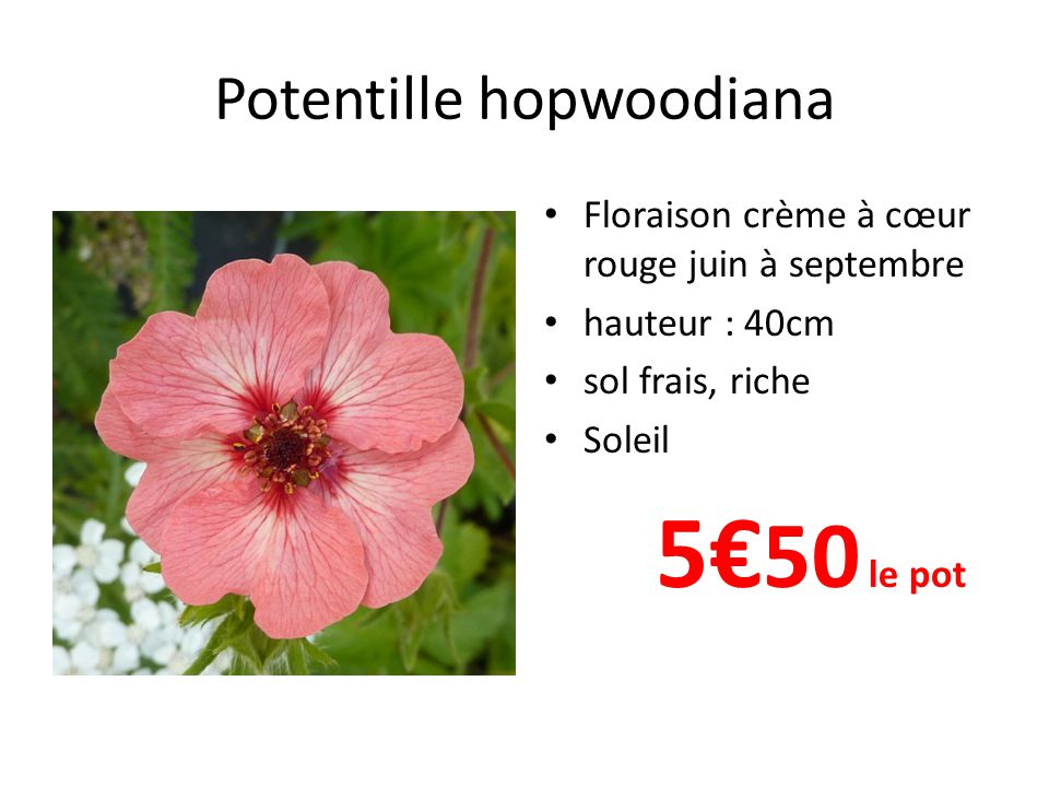 Potentille hopwoodiana