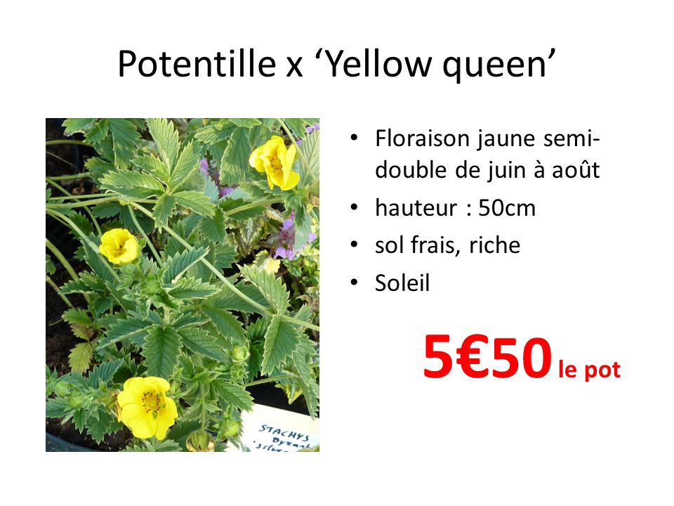 Potentille x 'Yellow queen'