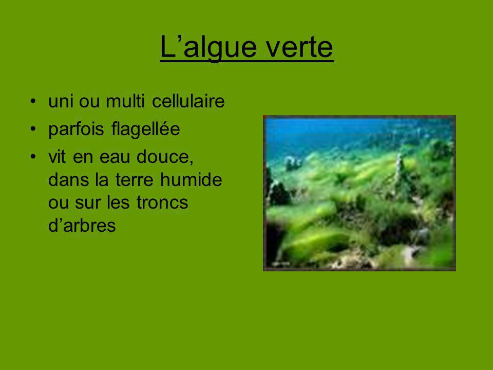 L'algue verte uni ou multi cellulaire parfois flagellée