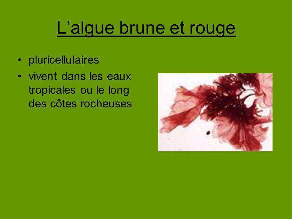 L'algue brune et rouge pluricellulaires