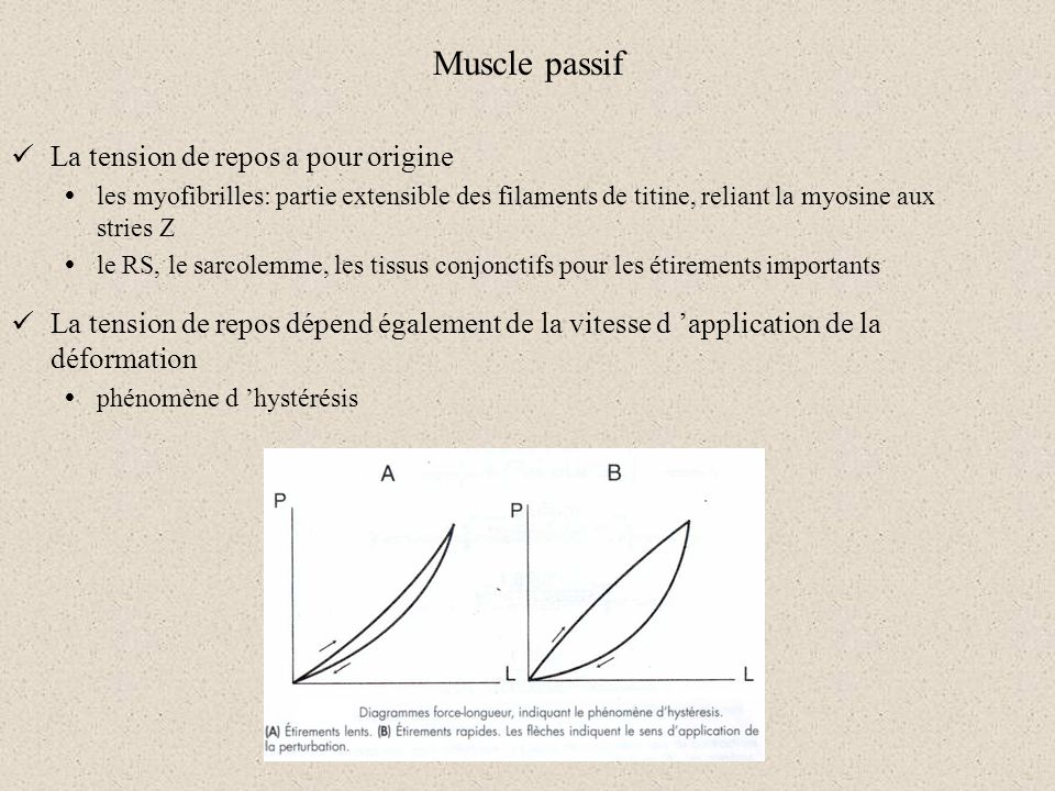 Muscle passif La tension de repos a pour origine