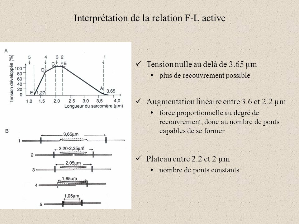 Interprétation de la relation F-L active