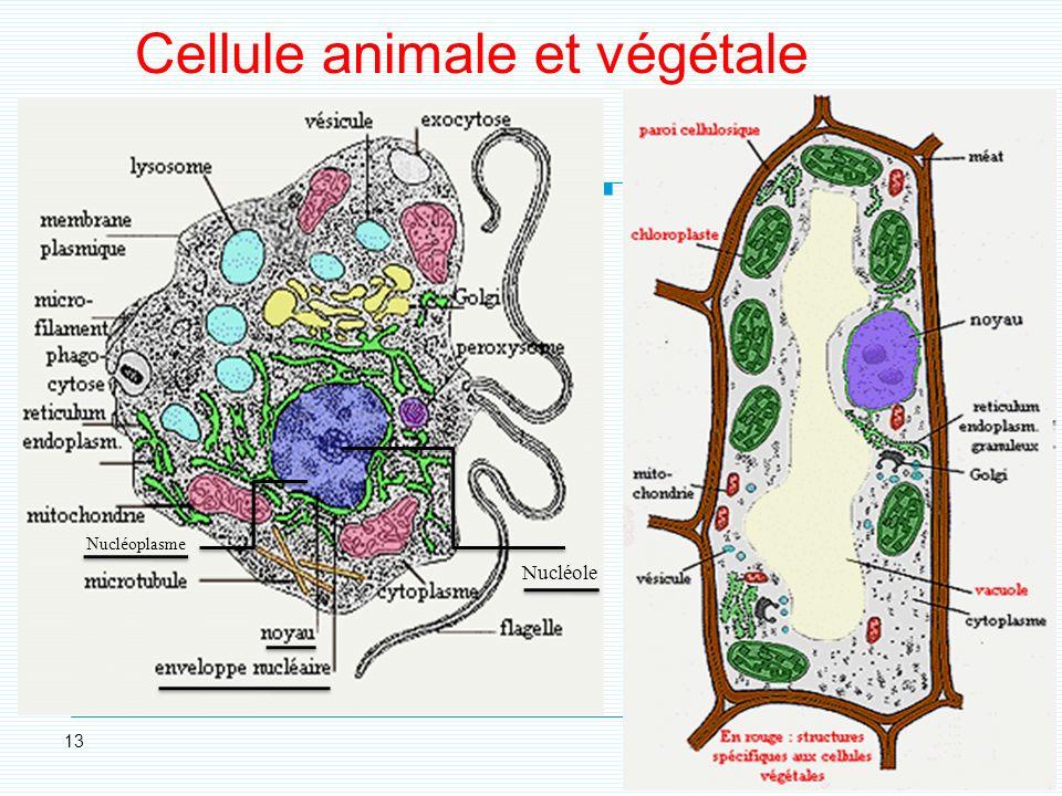 Cellule animale et végétale