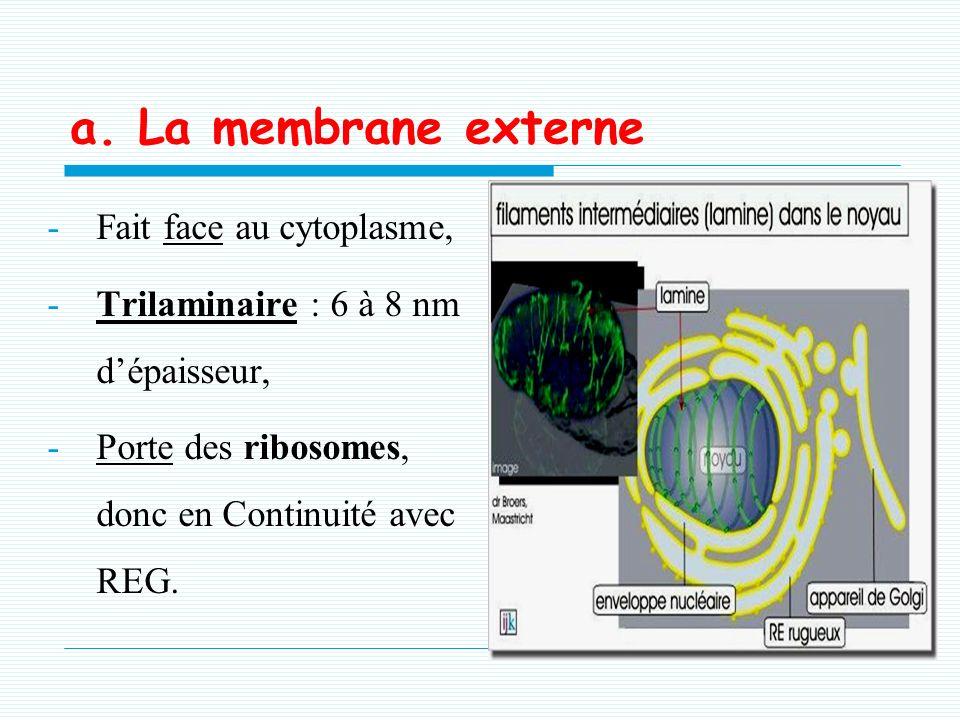 a. La membrane externe Fait face au cytoplasme,