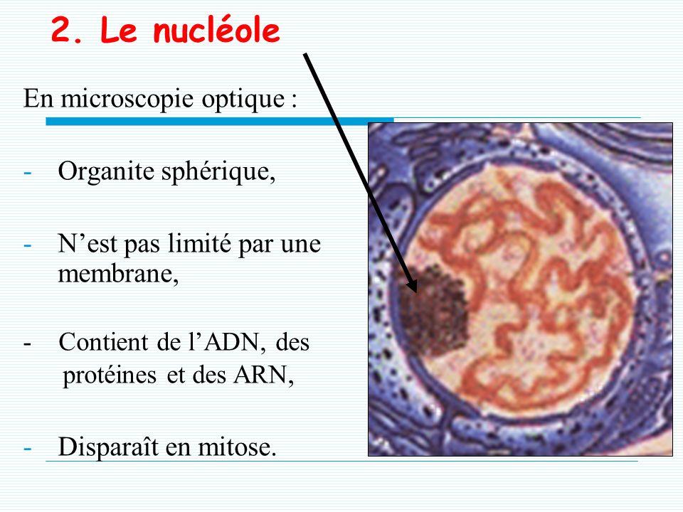 2. Le nucléole En microscopie optique : Organite sphérique,