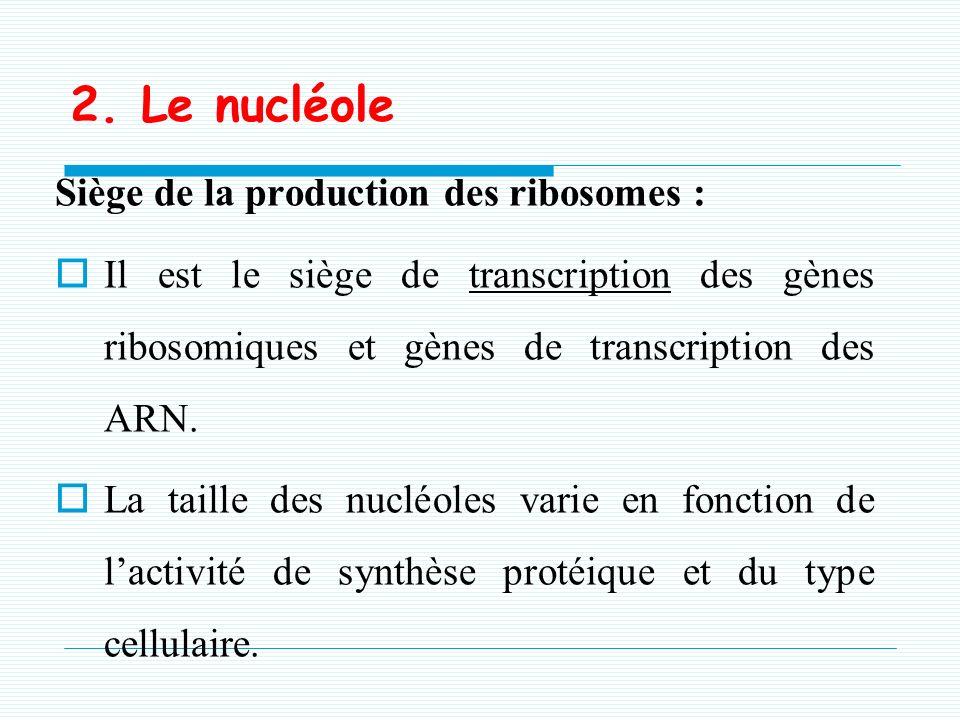 2. Le nucléole Siège de la production des ribosomes :