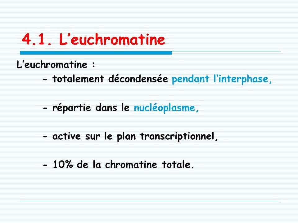 4.1. L'euchromatine L'euchromatine :