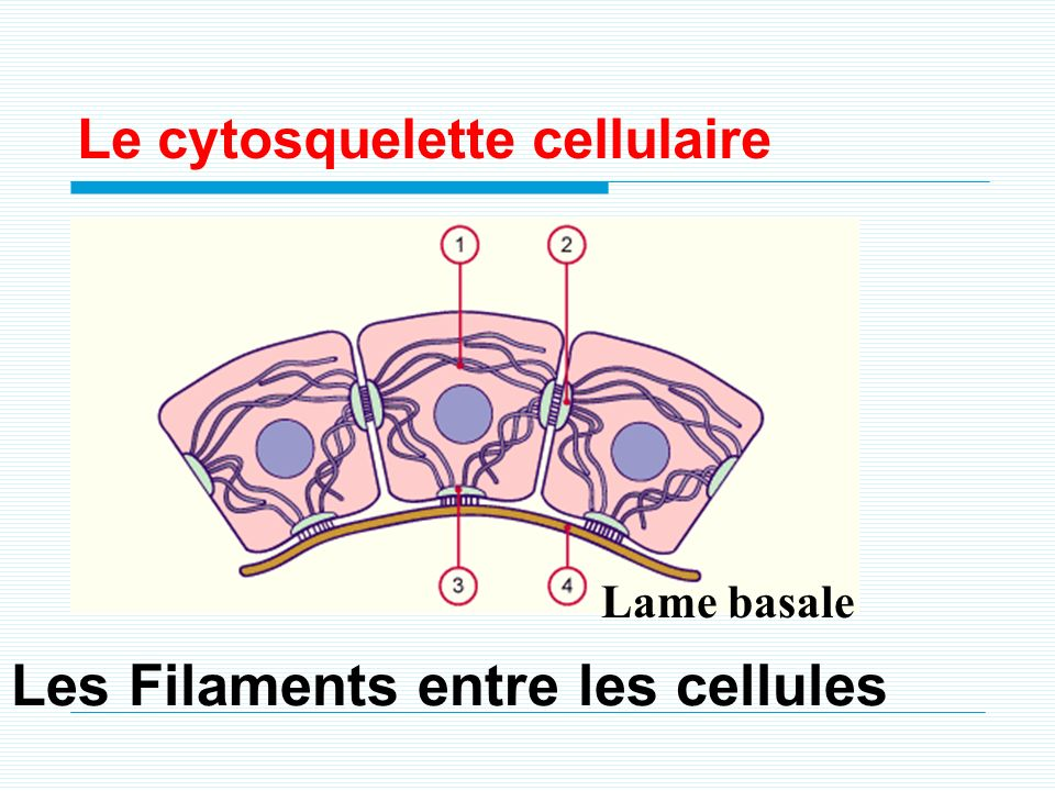 Les Filaments entre les cellules