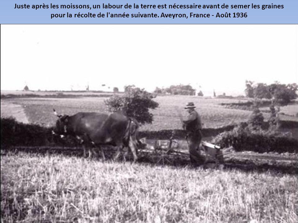 pour la récolte de l année suivante. Aveyron, France - Août 1936
