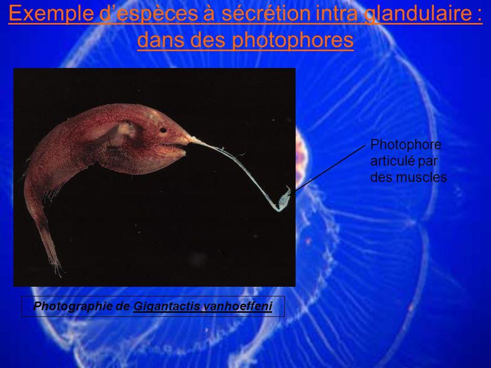 Exemple d'espèces à sécrétion intra glandulaire : dans des photophores