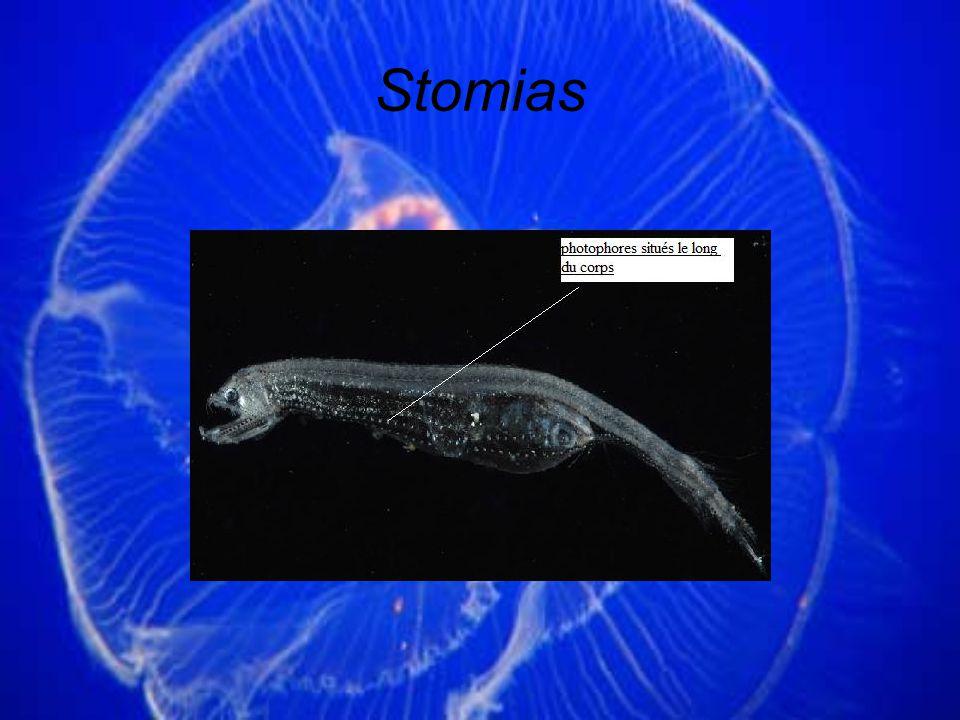 Stomias