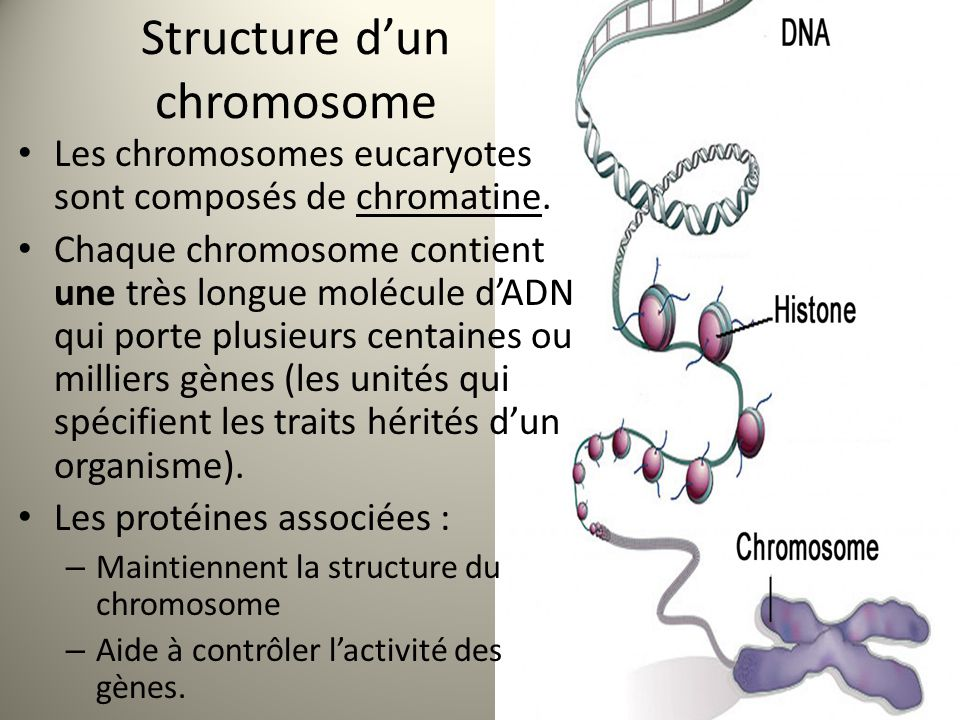 Structure d'un chromosome